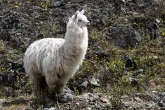 Parque Nacional Cajas - Alpaca