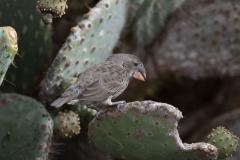 Genovesa - Cactus finch