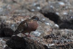 Genovesa - Galapagos dove