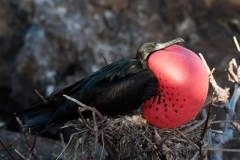 Genovesa - Magnificent frigatebird
