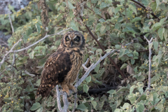 Genovesa - Short-eared owl