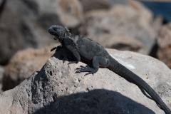 San Cristobal - Marine iguana (f)