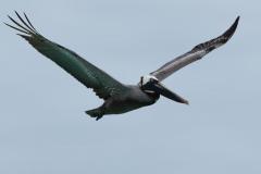Española - Brown pelican