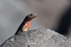 Española - Lava lizard