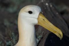 Española - Waved albatross