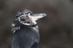 Santiago - Galapagos penguin
