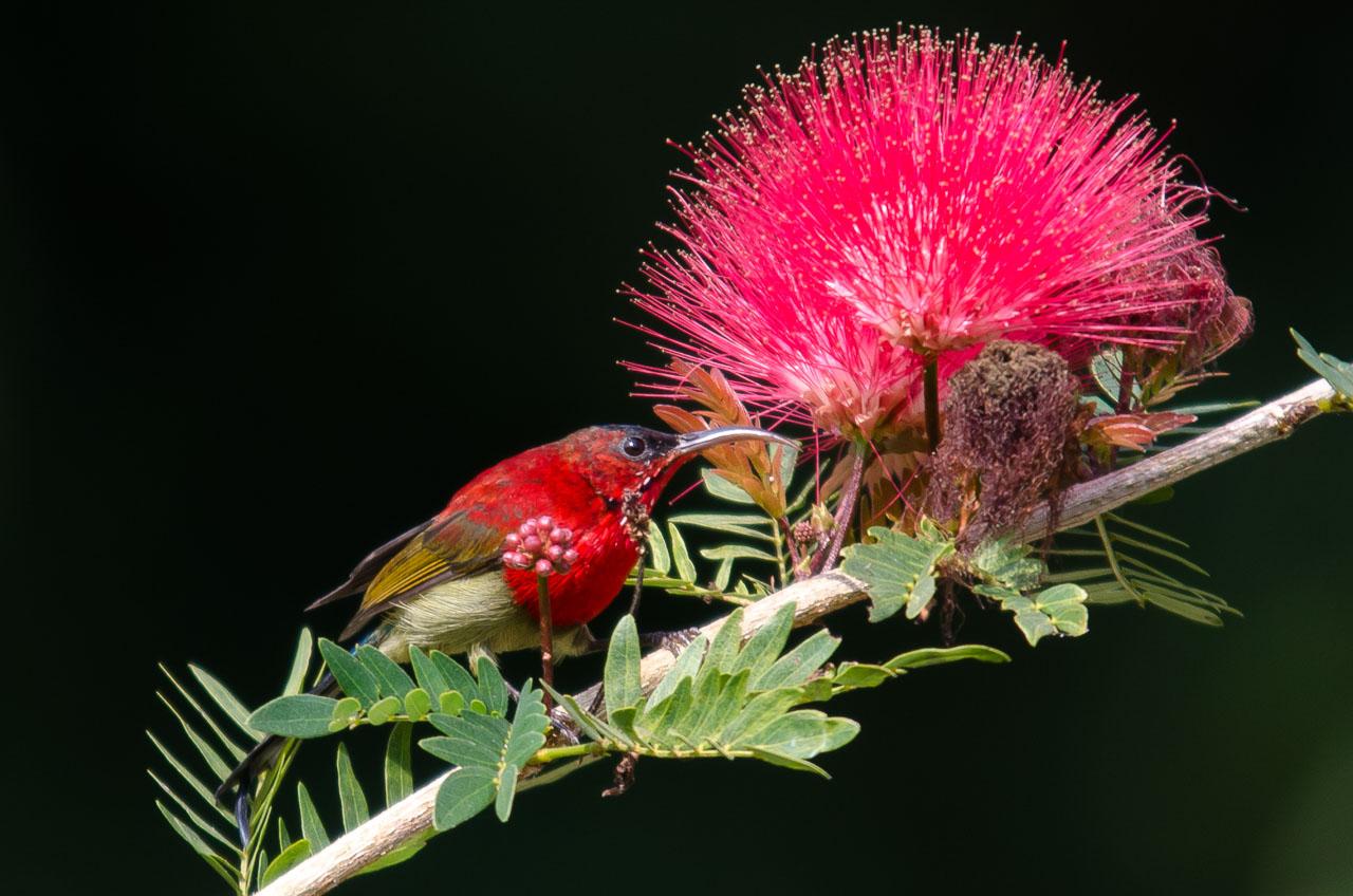 Corbett NP - Crimson sunbird