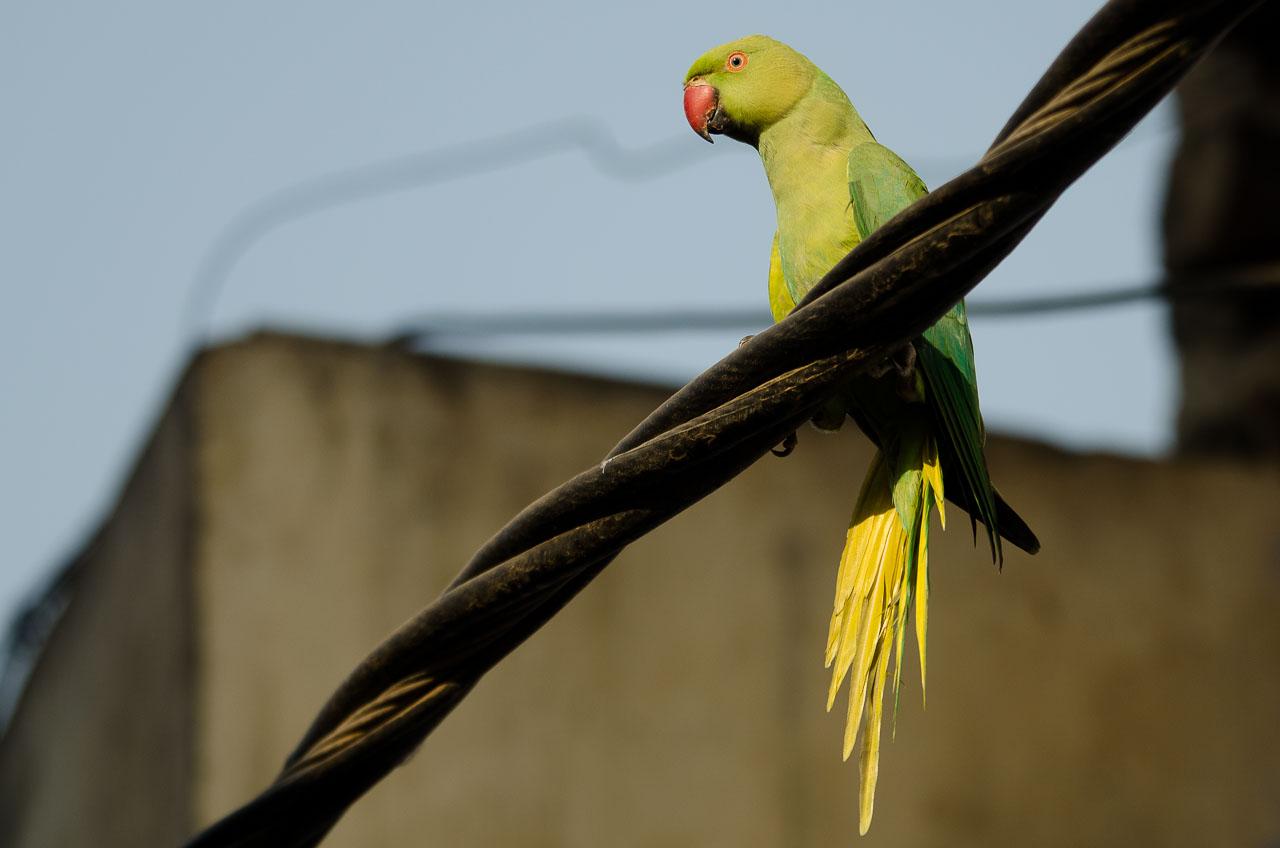 Agra - Rose-ringed parakeet