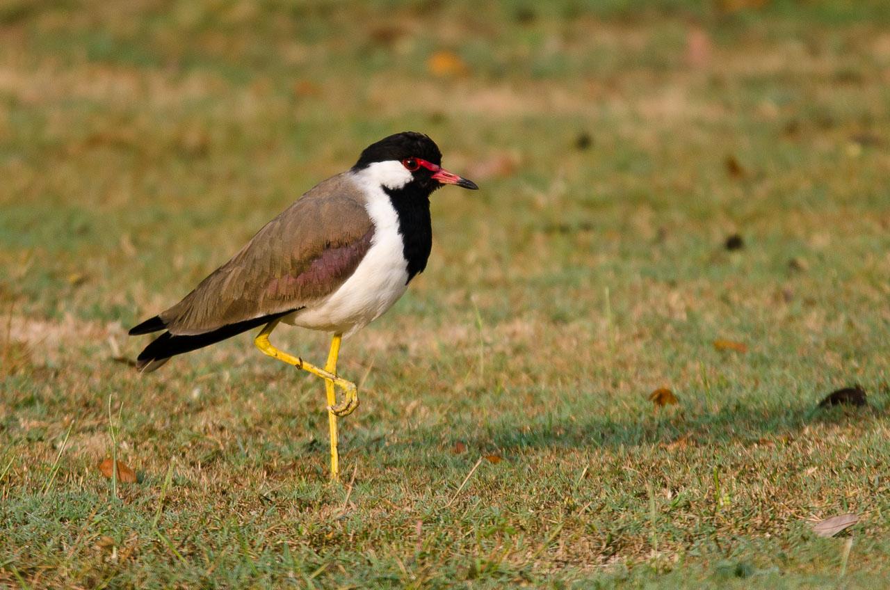 Khajuraho - Red-wattled lapwing