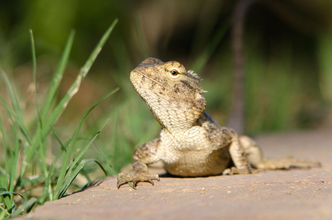 Kanha NP - Oriental garden lizard