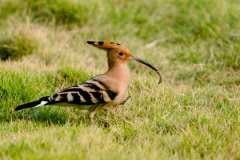 Rishikesh - Common hoopoe