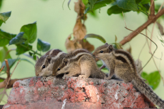 Rishikesh - Indian palm squirrel