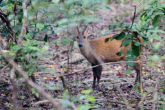 Corbett NP - Indian muntjac