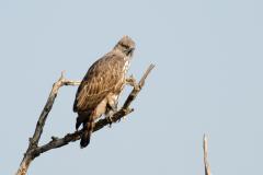 Corbett NP - Crested snake eagle