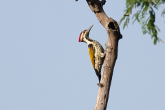 Corbett NP - Black-rumped flameback
