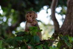 Corbett NP - Rhesus macaque