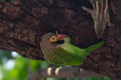 Agra - Brown-headed barbet