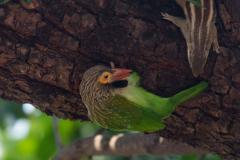Agra - Brown-headed barbet