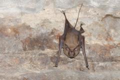 Gwalior - Bat