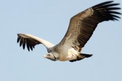 Khajuraho - Indian vulture