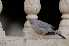 Khajuraho - Jungle babbler
