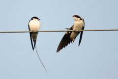 Khajuraho - Wire-tailed swallow