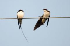 Khajuraho - Wire-tailed swallow