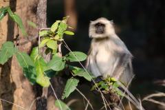 Bandhavgarh NP - Hanuman langur