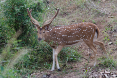 Bandhavgarh NP - Axis deer (spotted deer, chital)