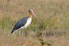 Bandhavgarh NP - Lesser adjutant stork