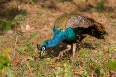 Kanha NP - Peacock