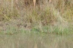 Kanha NP - Barasingha (swamp deer)