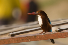 Varanasi - White-throated kingfisher