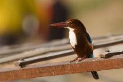 Varanasi - White-throated kingfisher