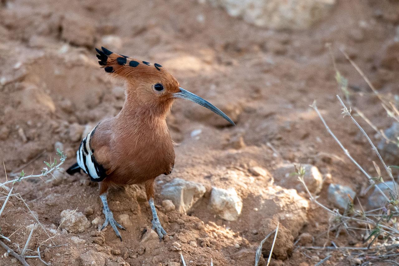 Samburu - Hoopoe