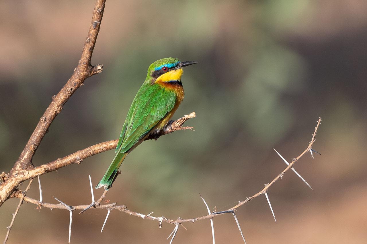 Samburu - Little bee-eater