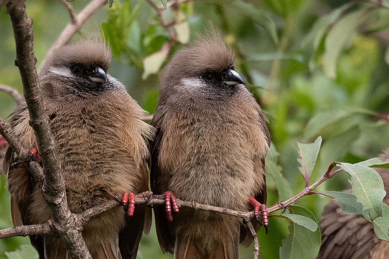 Aberdare - Speckled mousebird