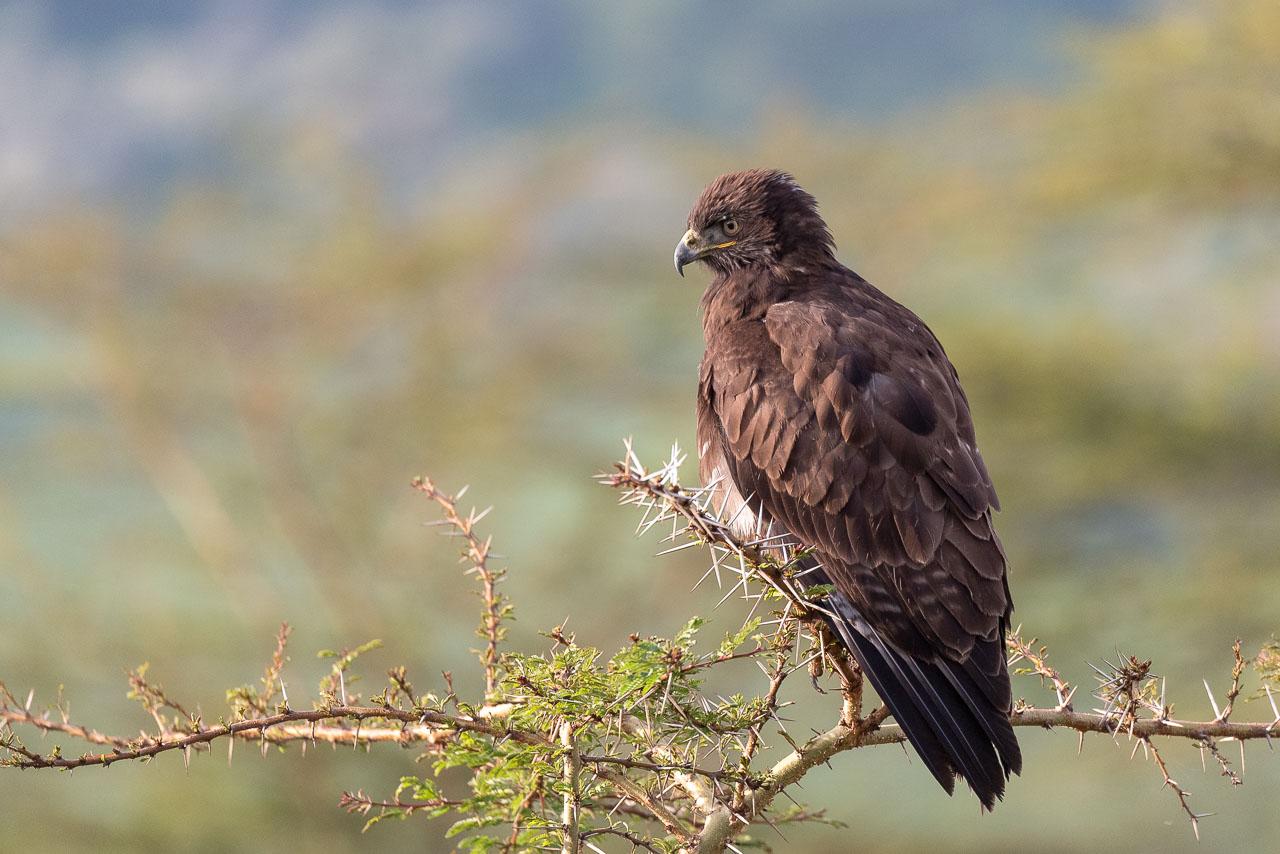 Lake Nakuru - Tawny eagle