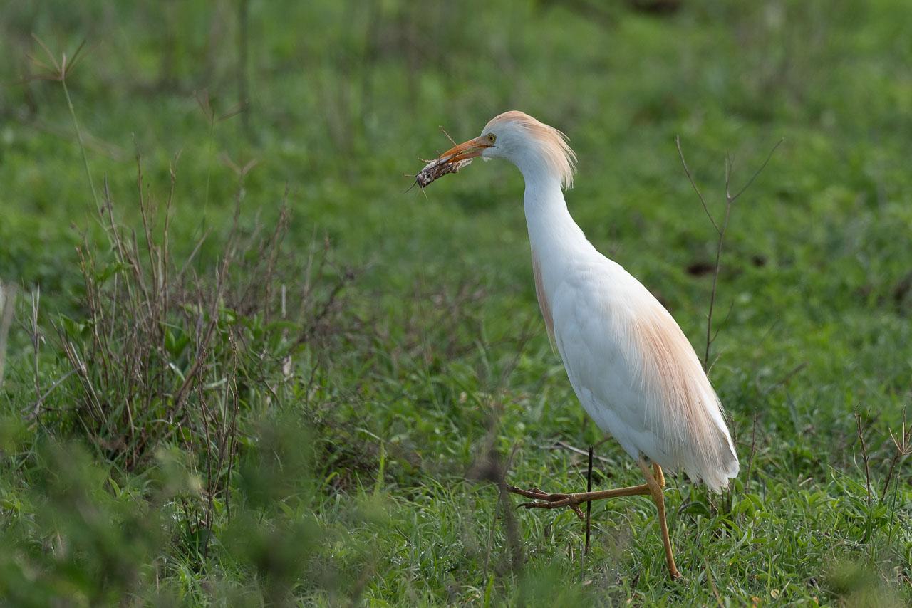 Lake Nakuru - Cattle egret