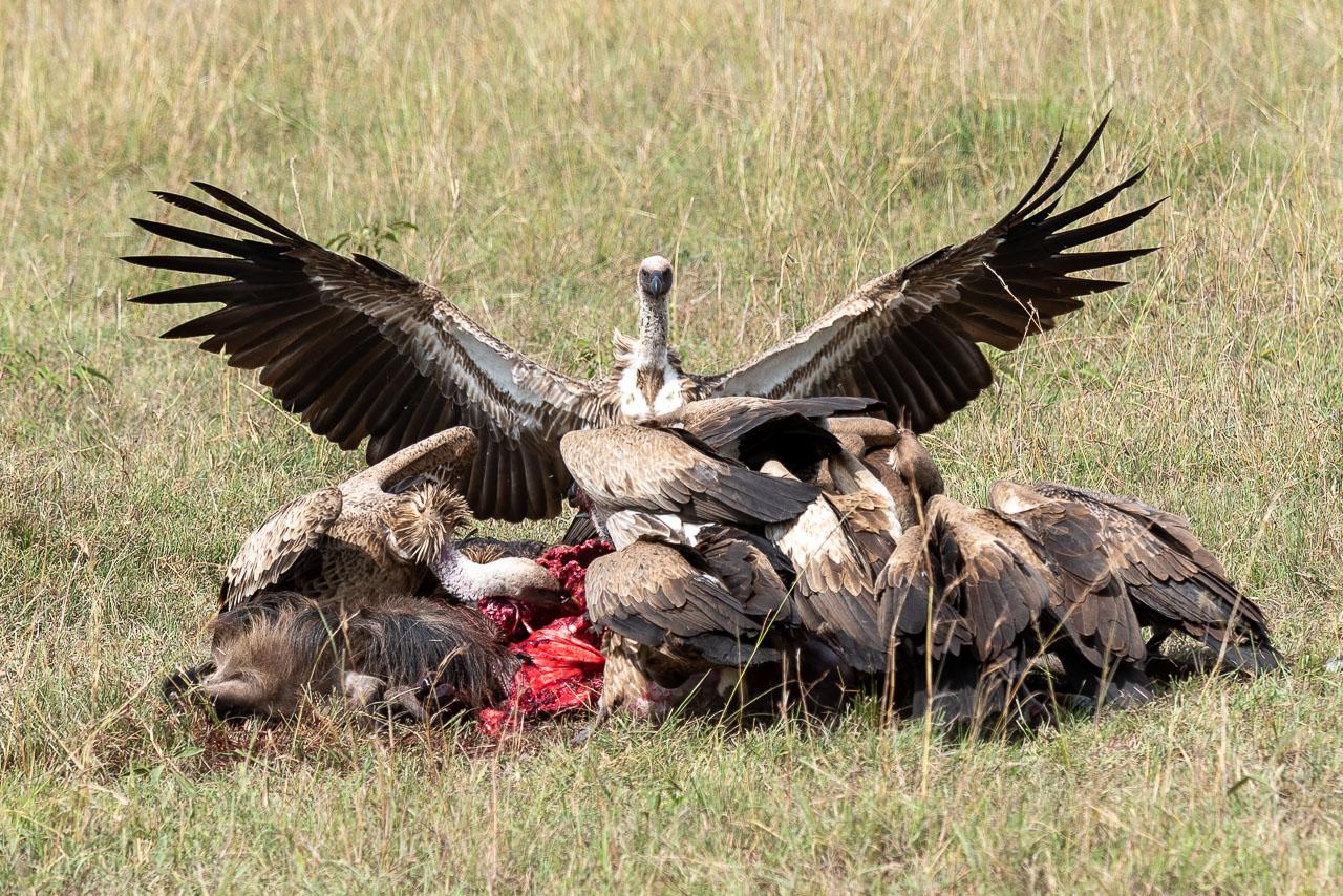 Masai Mara - White-backed vulture