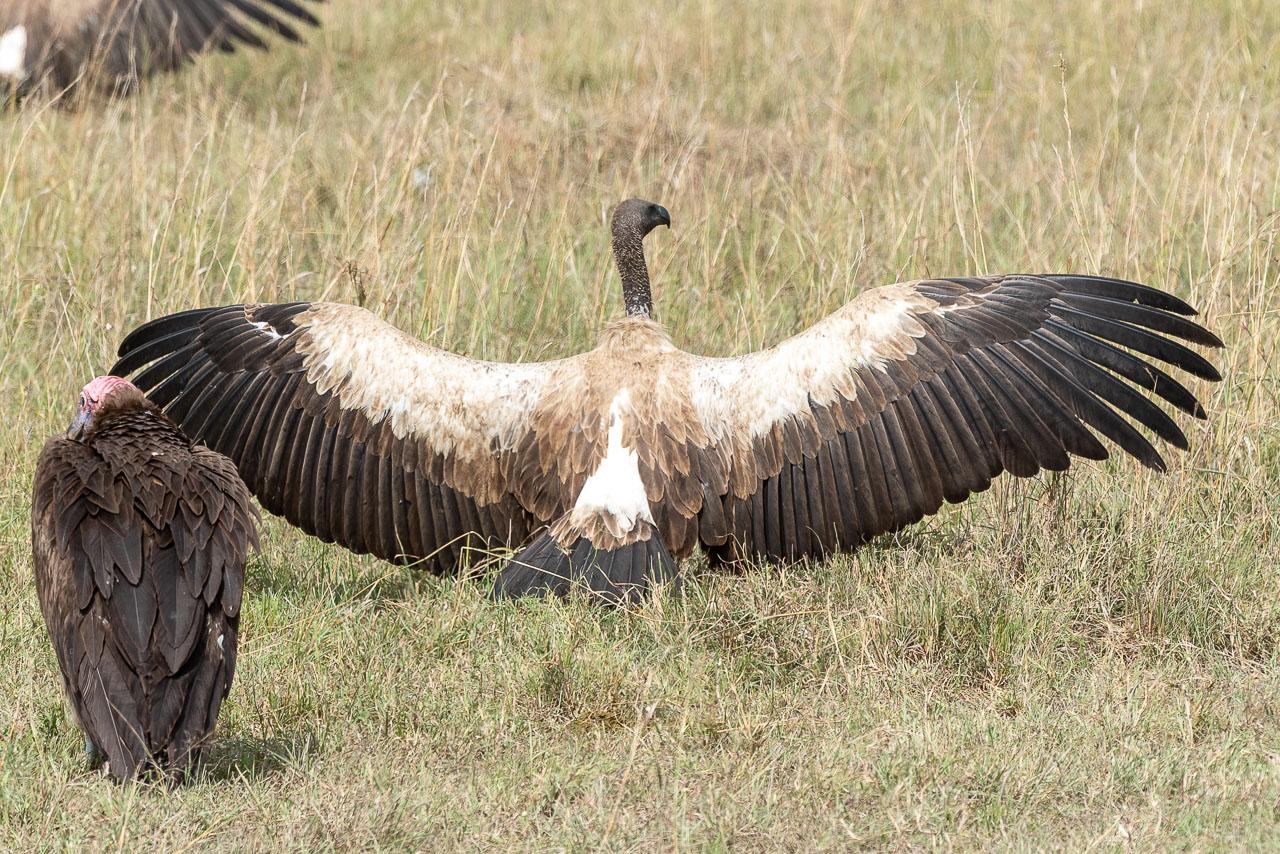 Masai Mara - Rueppell's vulture