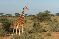 Samburu - Reticulated giraffe