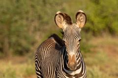 Samburu - Grevy's zebra