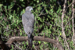 Samburu - Eastern chanting goshawk
