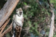 Samburu - Vervet monkey
