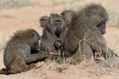 Samburu - Olive baboon