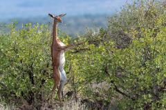 Samburu - Gerenuk