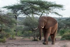 Samburu - African elephant