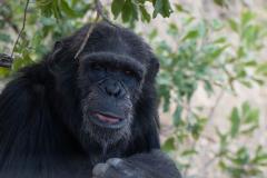 Ol Pejeta - Chimpanzee sanctuary