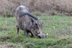 Ol Pejeta - Warthog